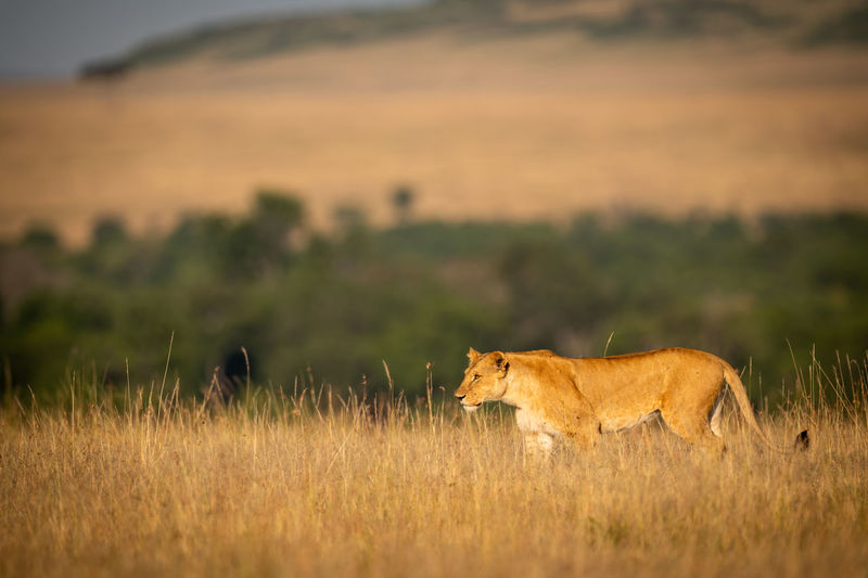 Side view of lioness standing on grassy field