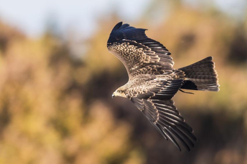 A black kite in flight Black Kite Free Kites Milan Milvus Migrans Nature Animals Animals World Bird Birdlife Birds Buzzards Eagles Fauna Fligt Flying Landscape Outdoors Searching Wild Wildlife