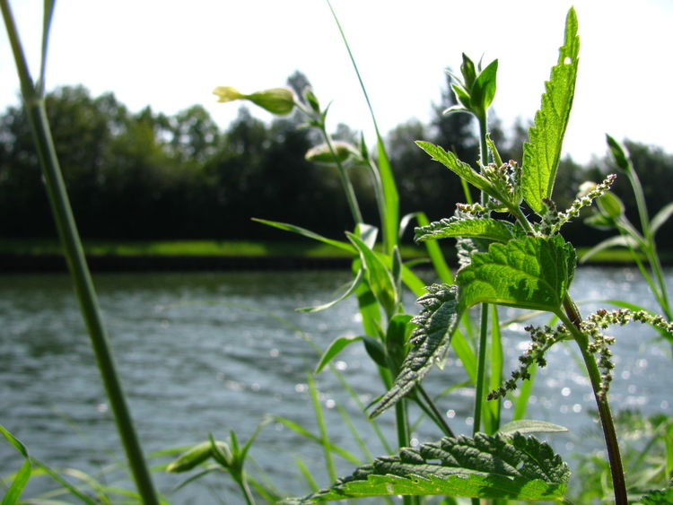 Beauty In Nature Close-up Day Focus On Foreground Freshness Green Green Color Growing Growth Herbal Herbs Leaf Nature Nettle Outdoors Plant Poison Selective Focus Sky Stem Stinging Nettles Summer Tranquility Water Waterfront