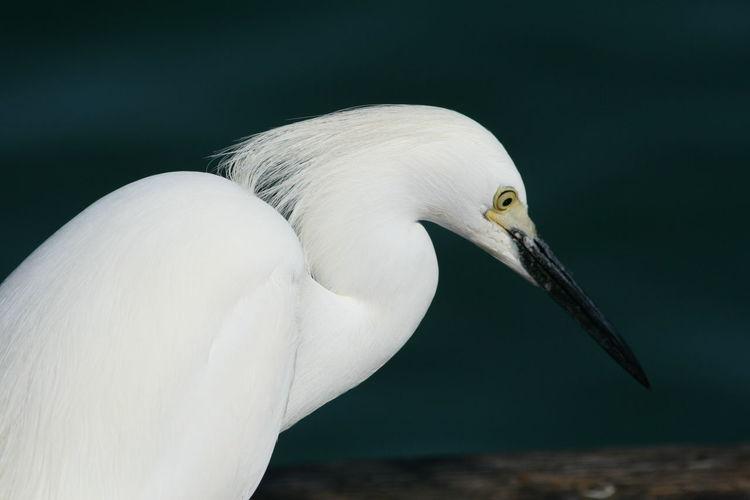 White Egret Animal Animal Head  Animal Themes Animals In The Wild Bird Close-up Nature One Animal White Wildlife