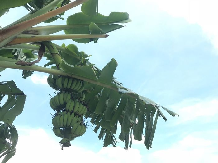 Low Angle View Banana Tree Leaf Growth Fruit Sky No People Green Color Day Hanging Tree Banana Leaf Outdoors Nature Healthy Eating Freshness Beauty In Nature Food Close-up