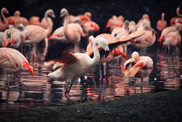 Flock of ducks in lake