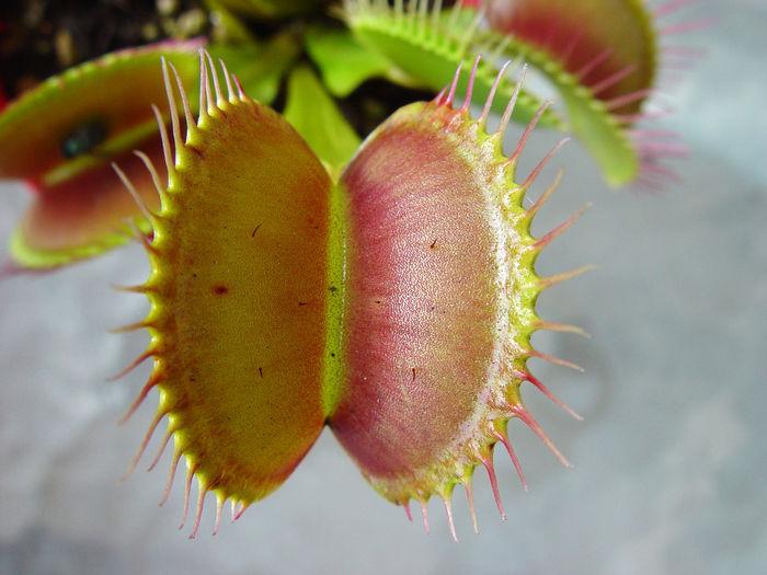 Close-up of venus flytrap outdoors