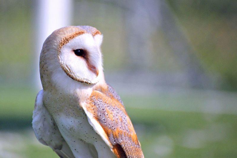 Bird Pets Owl