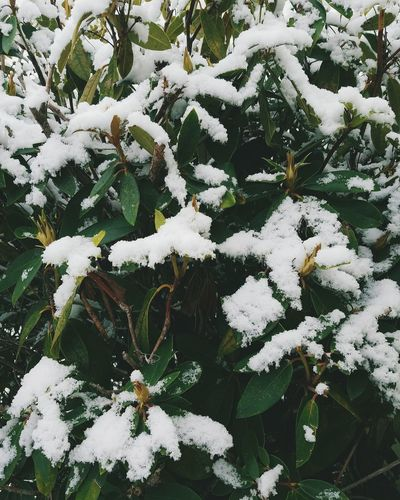 Nature Plant Outdoors Close-up Snow Rhododendron