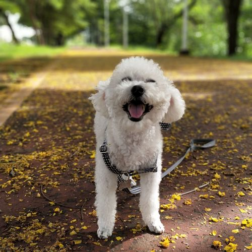 Sexta-feira EyeEm Selects Dog Pets One Animal Animal Poodle Cute Purebred Dog Domestic Animals Puppy Animal Themes Happiness Portrait