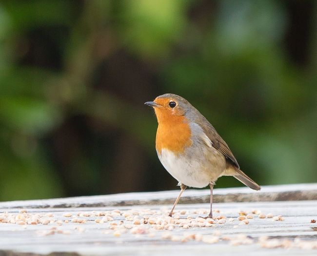 Scotland EyeEm Selects Bird One Animal Animals In The Wild Robin Animal Themes Perching Focus On Foreground Animal Wildlife Outdoors No People Nature