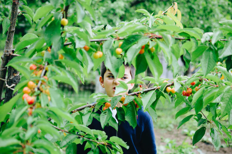 Agriculture Apple - Fruit Branch Cherry Tree Close-up Day Food Food And Drink Freshness Fruit Green Color Growth Healthy Eating Leaf Nature No People Outdoors Plant Red Tree