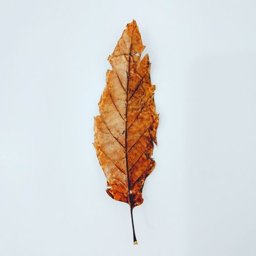 EyeEm Selects Wallpaper Hojas Secas White Background Nature Beauty In Nature No People Studio Shot Leaf Day Fragility