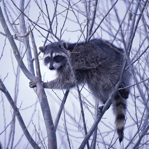 One Animal Branch Tree Animal Wildlife Bare Tree Nature Animal Themes Mammal Winter Animals In The Wild Raccoon Outdoors No People Day Beauty In Nature Close-up Beautiful Nature Autumn🍁🍁🍁 Amazing Animals In The Wild Winter Landscape Beauty In Nature Animal Cute