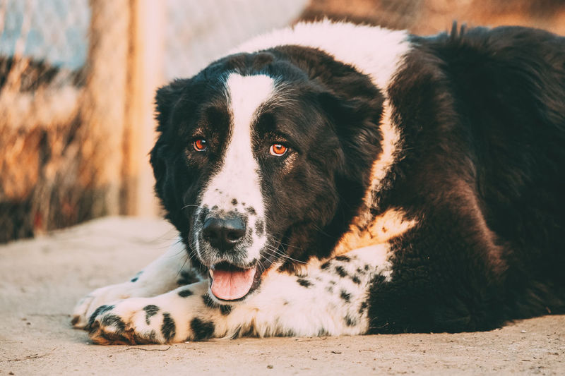 Close Up Portrait Of Central Asian Shepherd Dog Walking In Village Yard. Alabai - An Ancient Breed From The Regions Of Central Asia. Used As Shepherds, As Well As To Protect And For Guard Duty Whisker Resting Relaxation Dog Pets Animal Portrait Shepherd Walking Village Alabai - An Ancient Breed Central Asia Guard Dog Duty