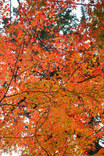 Tree Autumn Orange Color Change Plant Growth Beauty In Nature Nature Branch Low Angle View No People Day Red Outdoors Leaf Plant Part Close-up Maple Tree Vulnerability  Fragility Maple Leaf Natural Condition