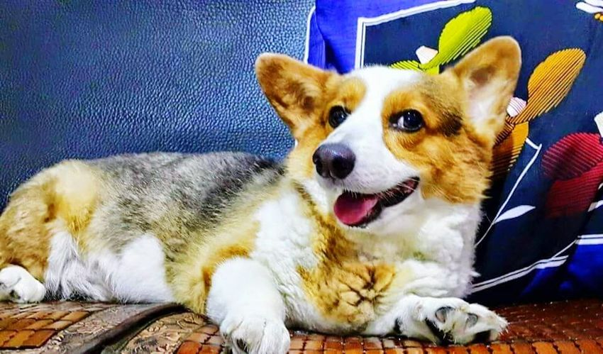 樂 樂 Corgi Dog Love Dog❤ Welsh Corgi Cute♡ Puppy❤ Corgis_of_instagram Corgipuppies Eyetome Pippin, Corgi, Dog