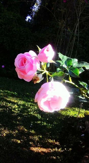 Rosé Pink Color Growth Nature Plant No People Outdoors Day Grass Roses🌹 Flowers,Plants & Garden