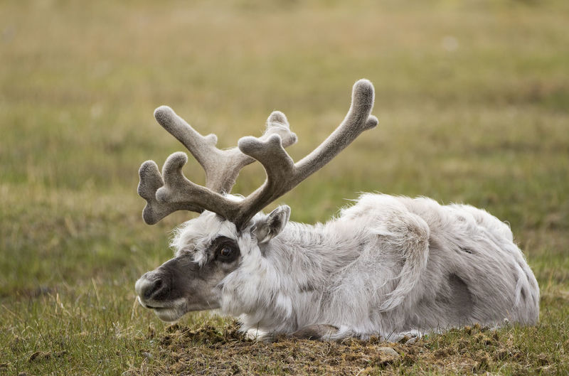 A reindeer rests on a grassy field in Longyearbyen, Svalbard, Norway Norway Reindeer Animal Themes Arctic Close-up Day Field Grass Mammal Nature No People One Animal Outdoors