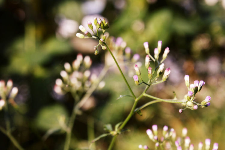 Beauty In Nature Blossom Botany Bud Close-up Day Flower Flower Head Focus On Foreground Fragility Freshness Growth In Bloom Nature New Life Outdoors Petal Pink Color Plant Selective Focus Springtime Stem Tranquility Uncultivated Wildflower