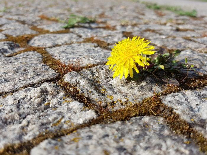 Löwenzahn Urban Green Berlin Flower Head Flower Yellow Uncultivated Close-up Plant Dandelion Wildflower Plant Life Blossom Focus Spring Growing
