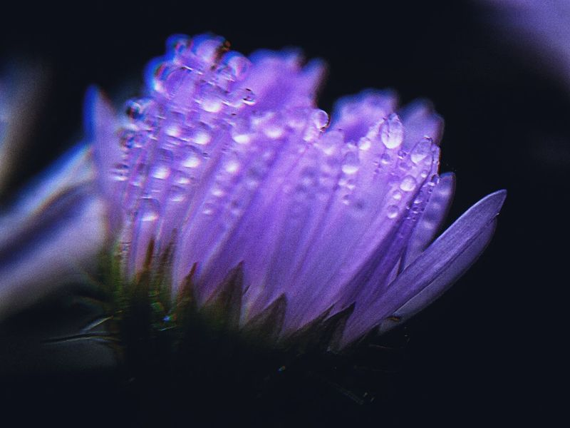 Overnight Success Every imperfect have inside one part perfect.. Flower Fragility Freshness Growth Beauty In Nature Close-up Petal In Bloom Nature Plant Purple Springtime Flower Head Blossom Botany Vibrant Color Pink Color Softness Lavender Colored Full Frame Jah Monochrome Plus Outdoors EyeEm Best Shots