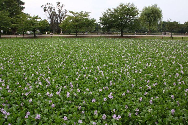 Tadaa Community ホテイアオイ Flowers 水城公園