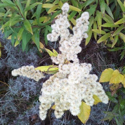 Geijsteren Flower