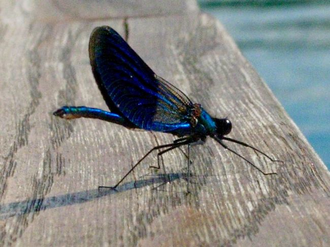 Insect Animal Themes Animals In The Wild One Animal Close-up Day Blue