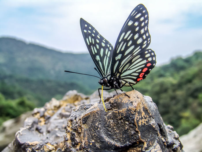 A butterfly resting on a rock And Insects Beautiful Beneficial Insects Biological Butterfly Can Fly Chicken Son Butterfly China Citrus Swallowtail Decorative Pattern Flying Gold Swallowtail Butterflies Graceful In China Insects  Large Group Of Objects Lepidoptera Natural Outdoors Pollen Pollination Pterygota Restaurant Rock Shape Animal Themes One Animal Animal Wildlife Animal Invertebrate Insect Animals In The Wild Animal Wing Solid Focus On Foreground Nature Close-up Rock - Object Day Beauty In Nature No People Butterfly - Insect Natural Pattern