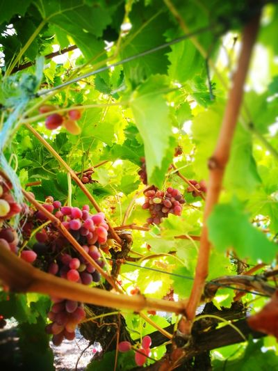 Picking grapes Tree Fruit Leaf Grape Red Close-up Green Color Food And Drink Plant Vine - Plant Vineyard Winery Red Grape Vine