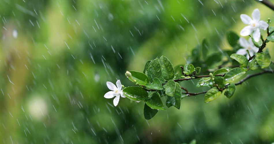 fresh green leaf and white flower branch under havy rain in rainy season Plant Growth Beauty In Nature Green Color Close-up No People Fragility Vulnerability  Freshness Nature Selective Focus Focus On Foreground Day Wet Plant Part Rain Water Leaf Drop Field Outdoors Rainy Season RainDrop