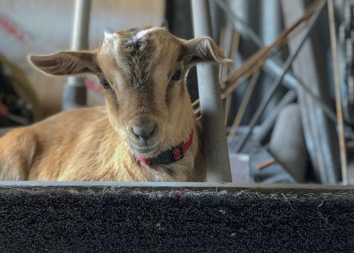 Goat Animal