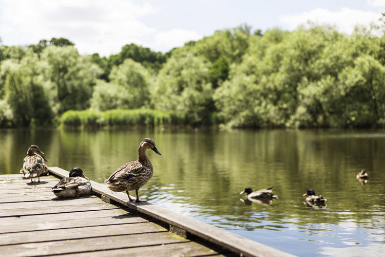 Ducks swimming in lake against trees