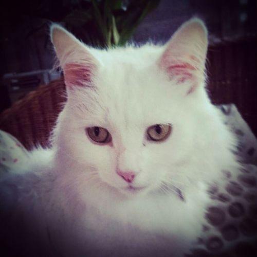 Pet Cat White