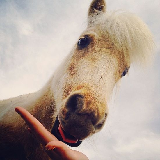 He is just the cutest little guy ever😍😘😜 Lickingmyhand Dakotatheminiaturepony Cutestever  Adorableness tocuteforyoulayinginthegrasstryingnottogetsteppedonlovehimonlyguyineedbesidesyou