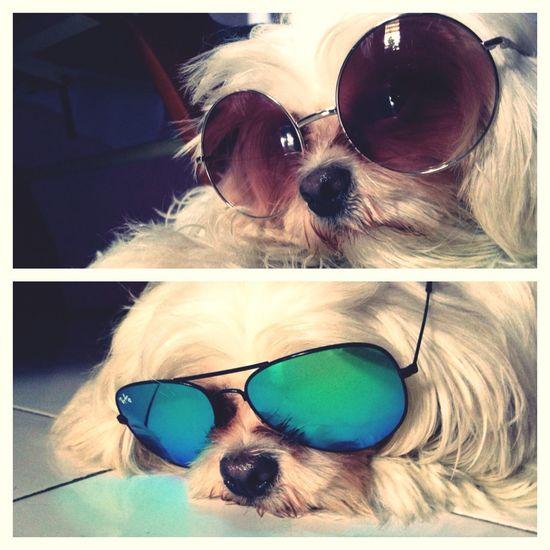 Dog Shih Tzu Rayban Topshop