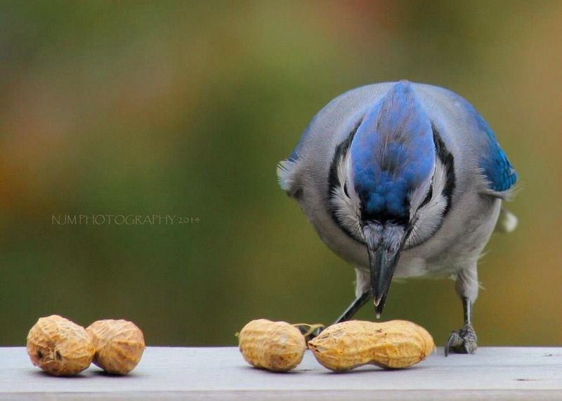 This is one of the cleaned up Blue Jay shots. Bird Wildlife My Photography