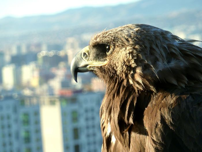 Back when I was in Mongolia i came across this Golden Eagle majestically looking over the city of Ulaanbaatar. Mongolia Eagle Eagles Mountains Ulaanbaatar Hiking Mountain Range