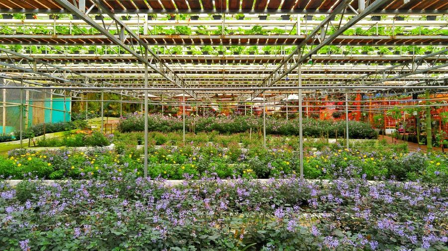 Flower nursery landscape Layer Plant Nursery Flower Nursery Green Purple Small Flower Cameron  Malaysia Greenhouse Flower Soccer Field Sport Grass Plant Green Color Domestic Garden Growing Greenery Young Plant In Bloom Blooming
