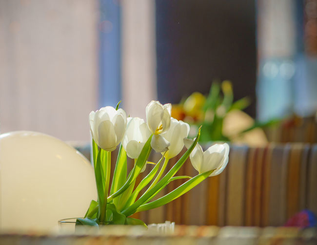 Close-up of frangipani flowers in vase