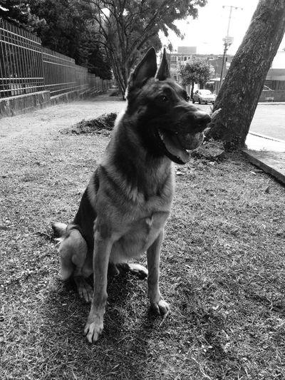 Enzothedog Dogsrule Pets PastorBelga Malinois PastorBelgaMalinois Mexico