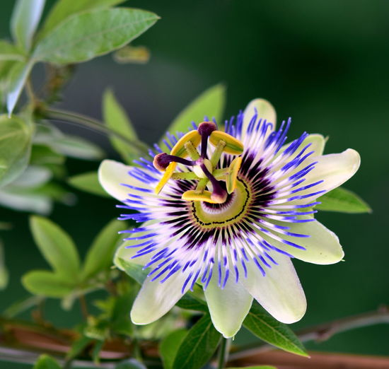 Flower Flowering Plant Freshness Petal Plant Fragility Vulnerability  Inflorescence Flower Head Growth Passion Flower Beauty In Nature Close-up Pollen Purple Nature No People Leaf Plant Part