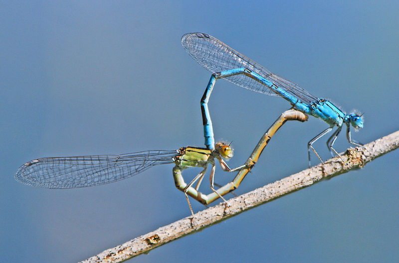Close-up of dragonflies mating on twig against sky