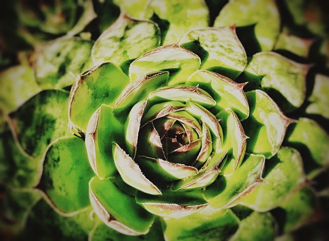 Succulent 2 Leaf Backgrounds Growth Green Color Nature Full Frame No People Plant Close-up Freshness Beauty In Nature