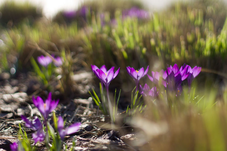 Shadow Blurred Background Petal Sunshine Sunlight Crocus Flower Flower Head Water Defocused Purple Flowerbed Closing Pink Color Field Flowering Plant Botanical Garden Plant Part In Bloom Blooming Blossom Botany Plant Life