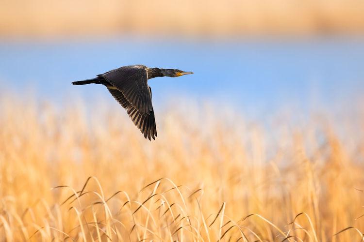 【神奇的高邮湖】鸬鹚 Bird