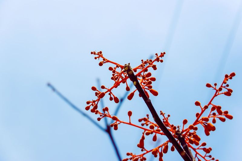 EyeEmNewHere EyeEm Nature Lover EyeEm Best Shots Low Angle View Sky Plant No People Nature Tree Flower Clear Sky Branch Flowering Plant Beauty In Nature Fragility Blue Freshness Growth Day Close-up Red White Color Outdoors