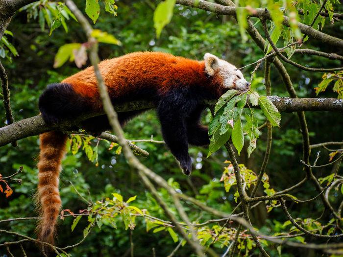 One Animal Animal Themes Nature Outdoors Branch Tail Tree Panda Redpanda Kleiner Panda Wildlife & Nature Animals In The Wild Animal Wildlife No People Day Lazy Cute