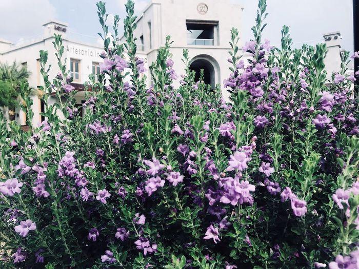 Purple flowering plants against building