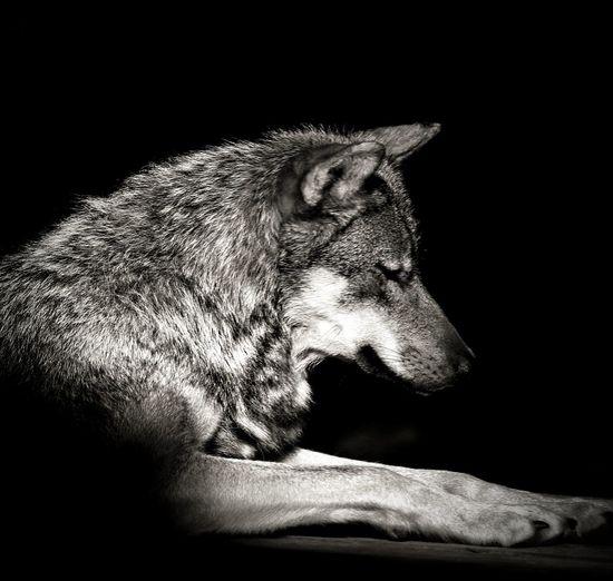 Wolves♥ Animal