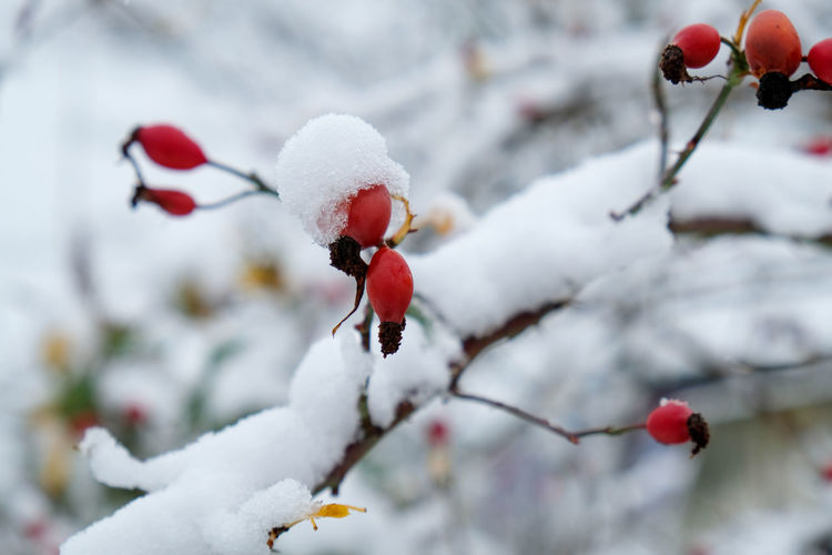 Close-up of frozen berries on plant during winter