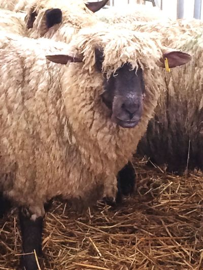 First Eyeem Photo Sheep Animal Farm Animals Country Show Zoological