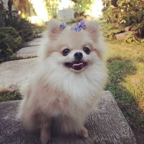 Crown Dog With Flowers Flowers Dog Outdoors Dog On Grass Grass EyeEmNewHere Looking At Camera Field Looking No People Portrait Dog Day Plant Pomeranian Canine Pets One Animal Mammal Plant Domestic Animals Animal Themes Animal Small Pomeranian Vertebrate Lap Dog Looking At Camera Domestic